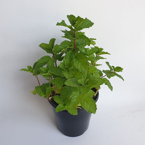 Mint 125mm pot