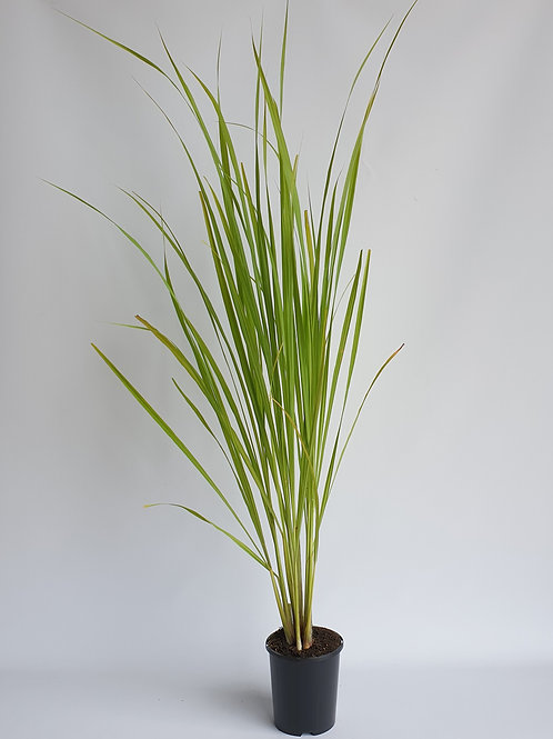 Lemon Grass 140mm pot