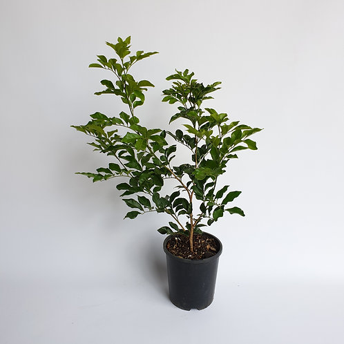 Mock Orange 140mm pot