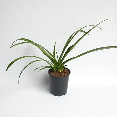 Spider Lily 140mm pot