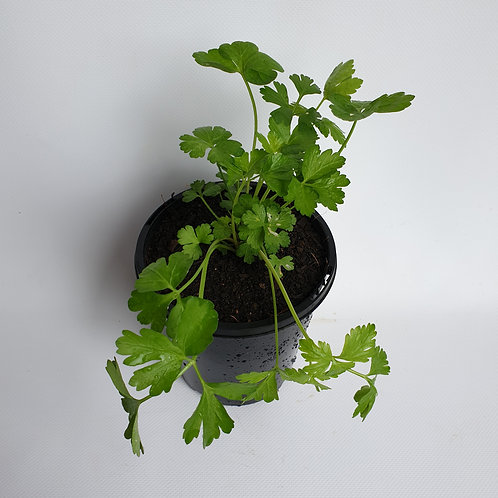 Italian Parsley 125mm pot