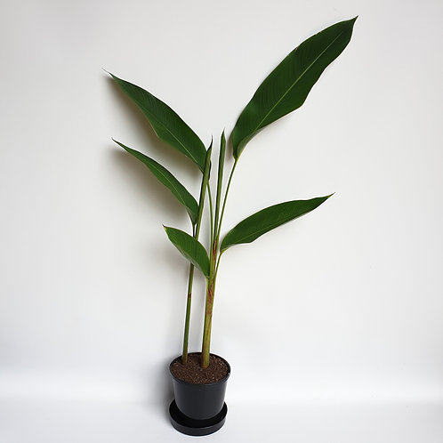 Golden Torch Heliconia 140mm pot