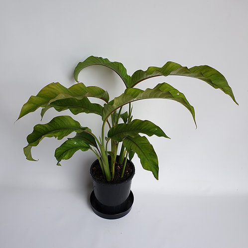 Jamaica Dwarf Heliconia 140mm pot