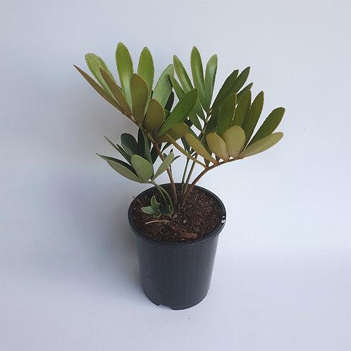 Cardboard Plant 140mm pot