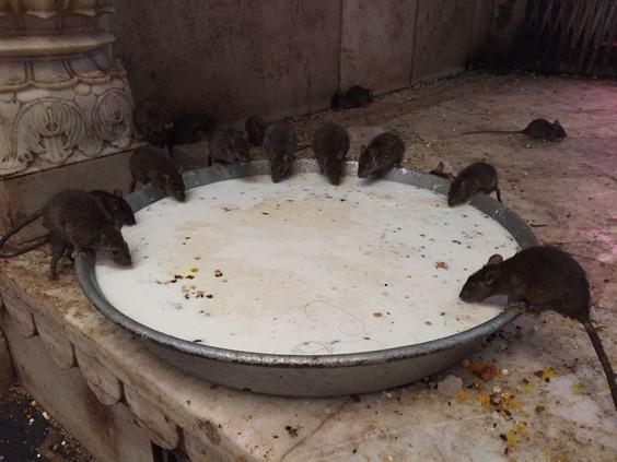 Karni Mata Temple - Temple of Rats | Deshnok | Bikaner