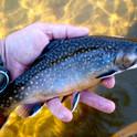 Native Brook Trout.jpeg