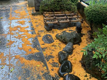 金木犀の絨毯が😳