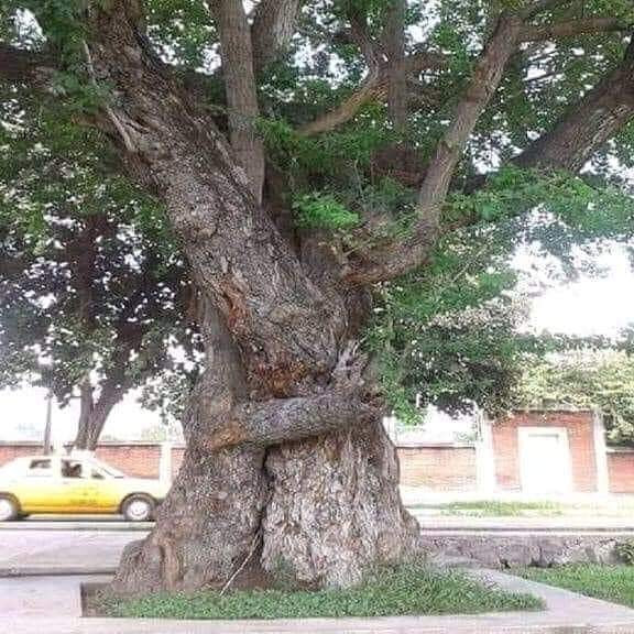 Two trees hugging Tai Chi 4 You summer q