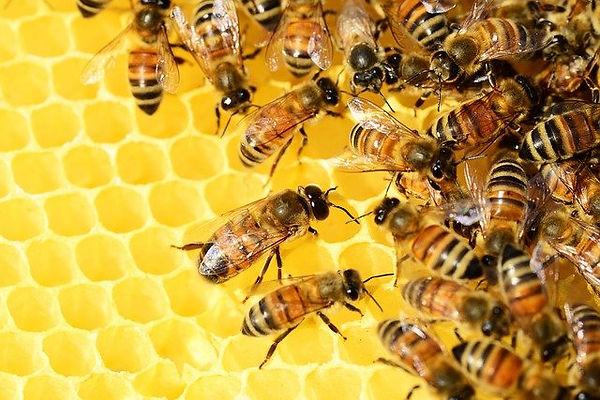 honey-bees-326337_640.jpg