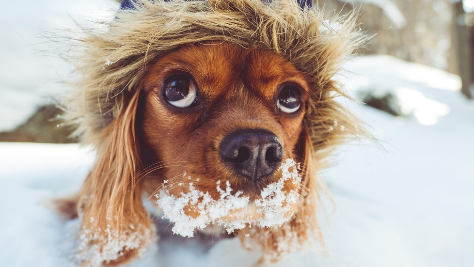 Prea frig pentru câinele tău? 10 instrucțiuni pentru iarnă