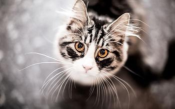 ochi pisica