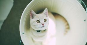 Boala tractului urinar inferior la pisică