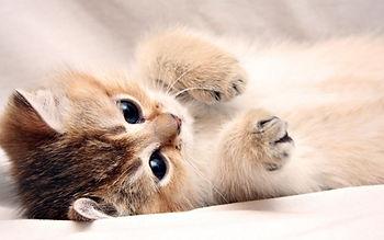 pisica pui