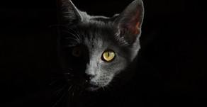 Pisica și toxoplasmoza