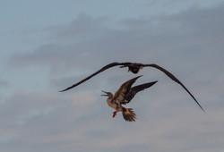 Frigate attacking booby, Aldabra
