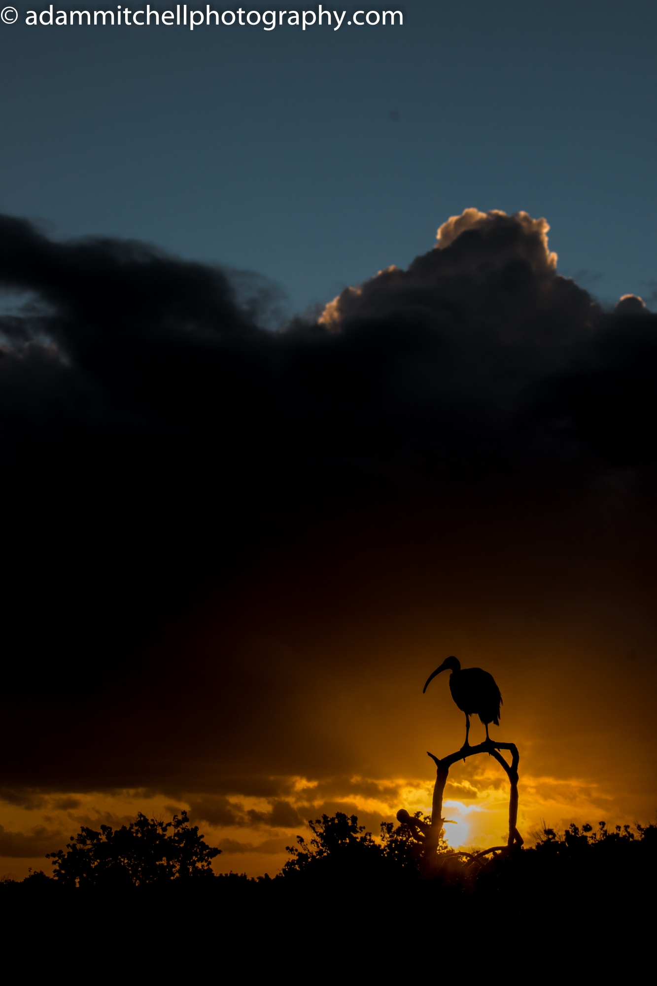 Aldabran sacred ibis