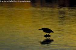 Striated heron,  Aldabra