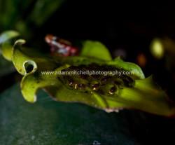 Epipedobates anthonyi, Cheshire