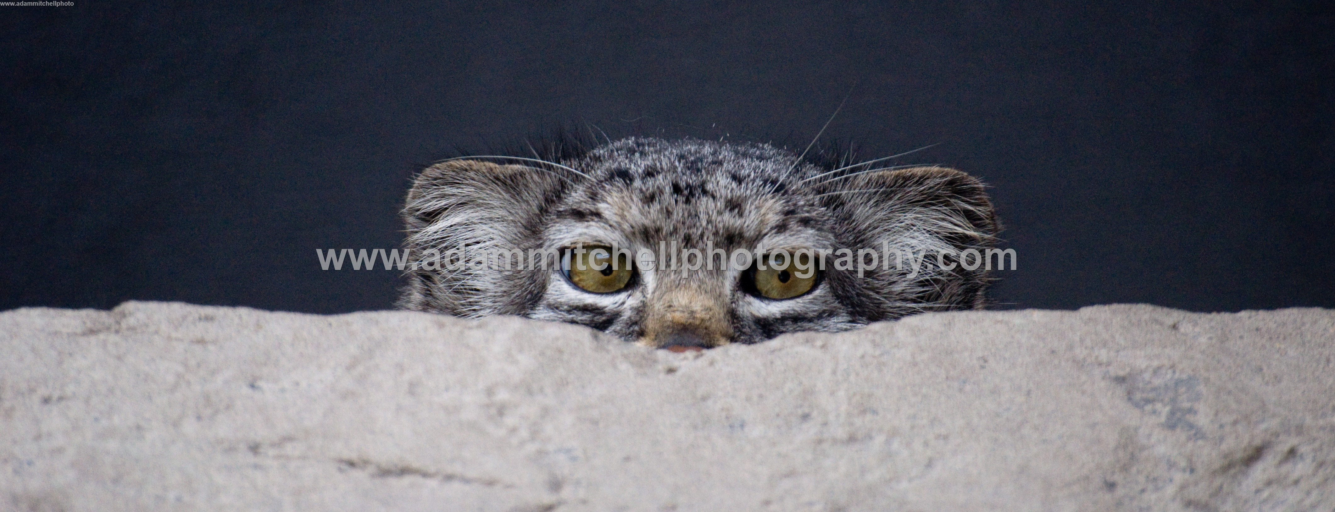 Pallas cat, Kent