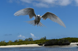 Bridled tern, Aldabra