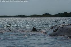 Tiger shark on humpback, Aldabra