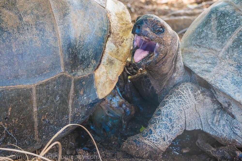 Aldabra tortoise cannibalism