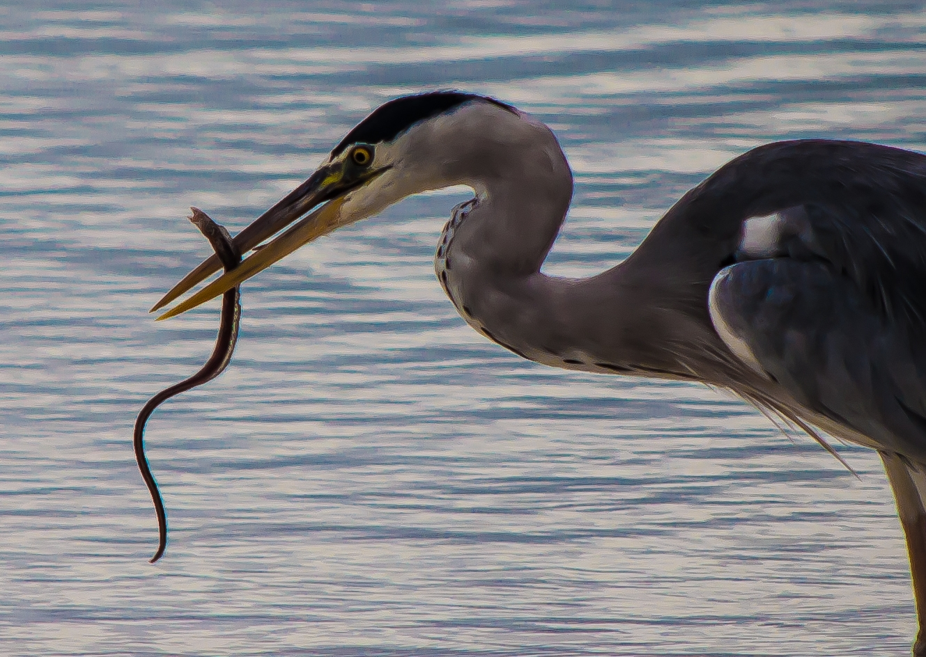 Grey heron predating spotted moray
