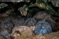 Aldabra tortoise shelter in a cave