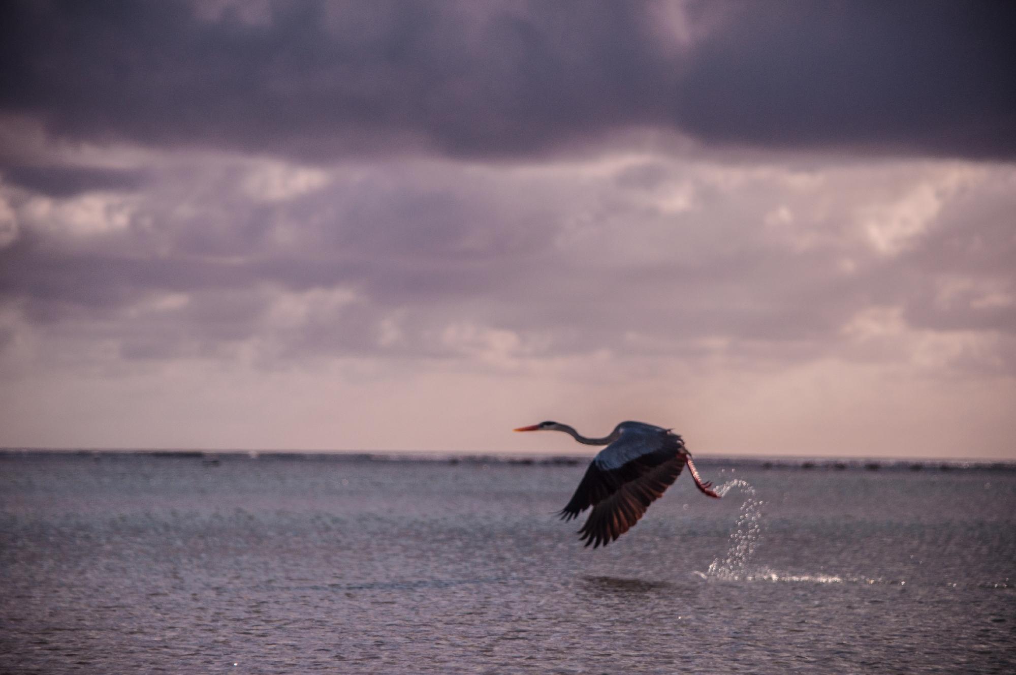 Grey heron, Aldabra