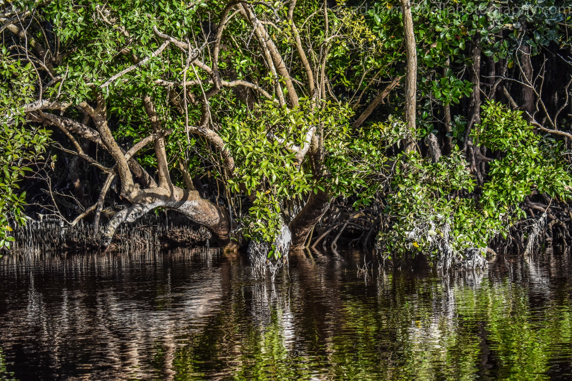 Mangroves, Aldabra