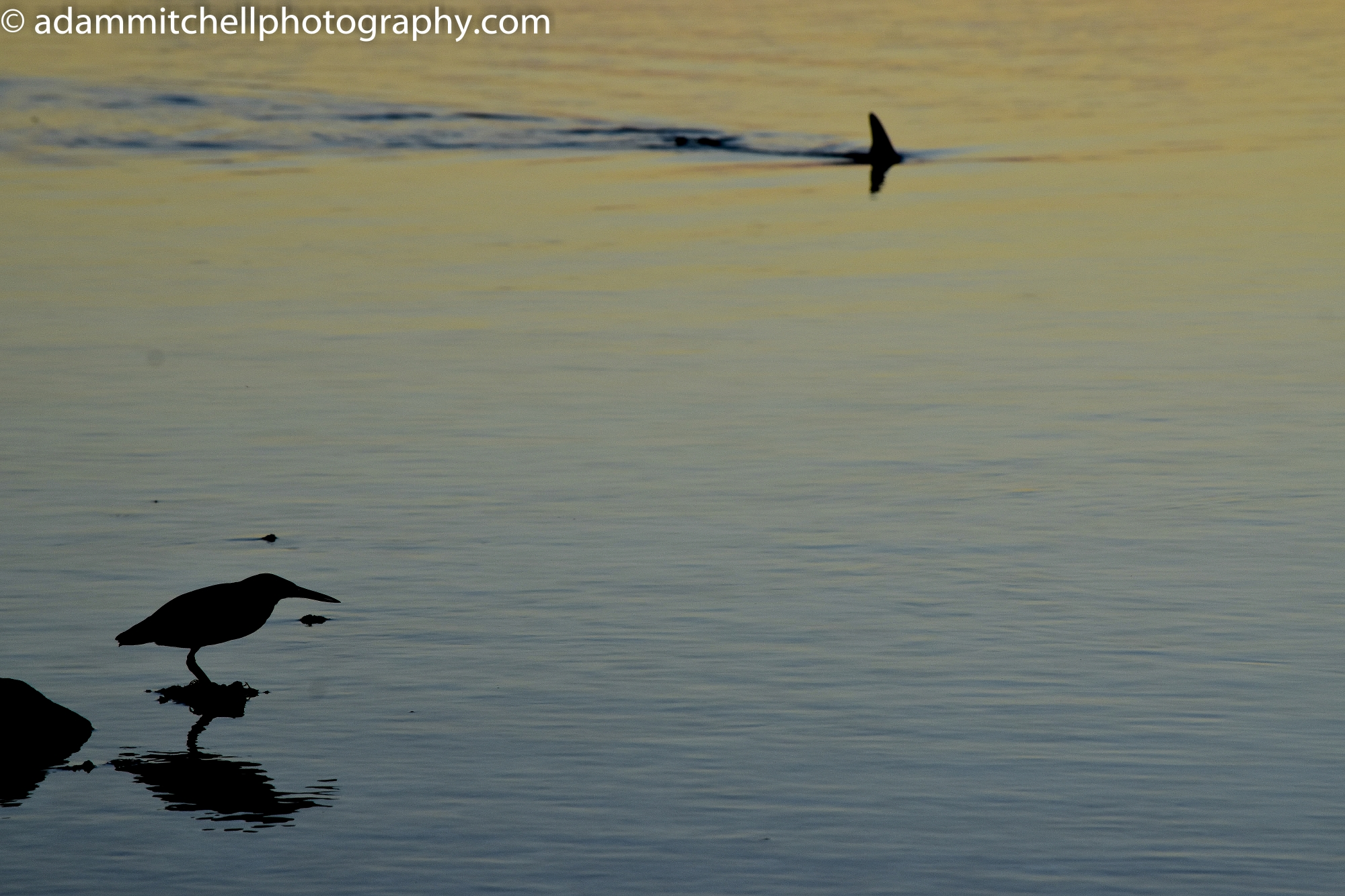 Striated heron & blacktip, Aldabra
