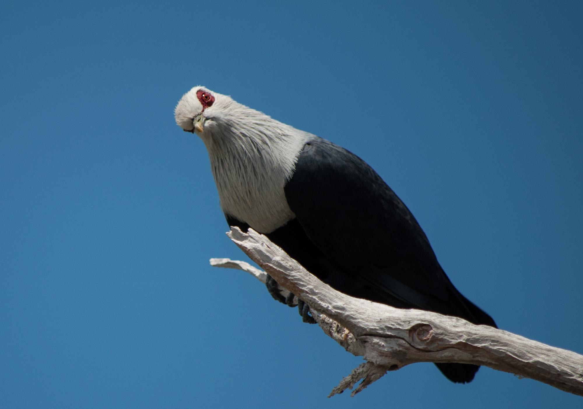 Blue pigeon, Aldabra