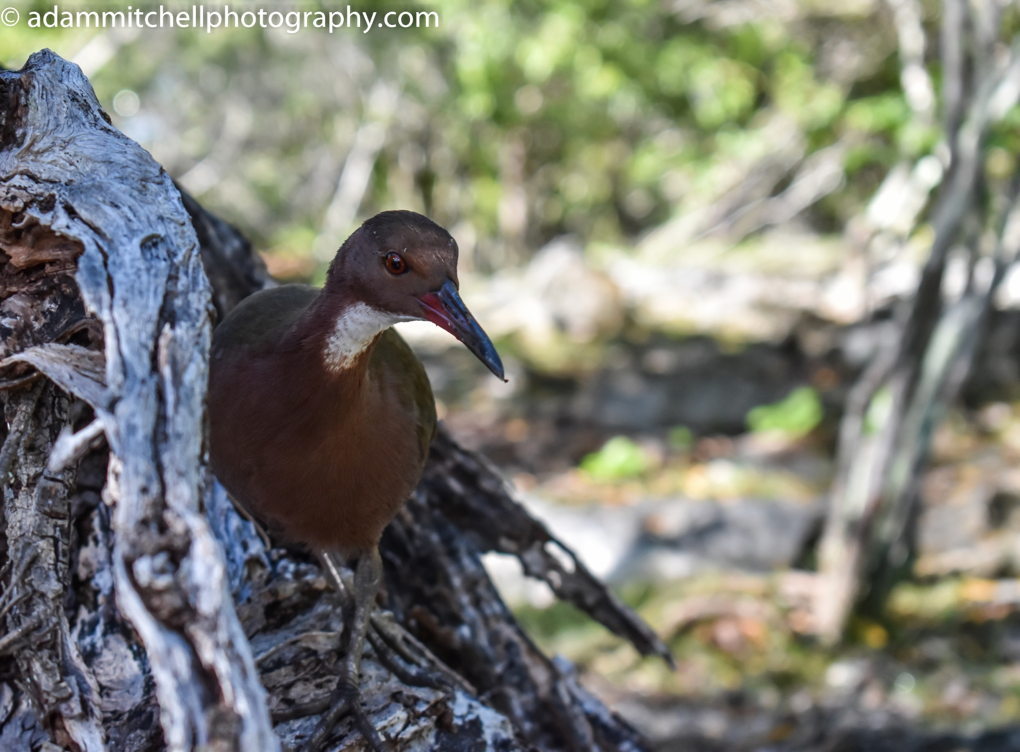 Aldabran flightless rail