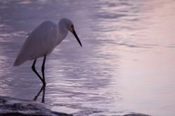 Dimorphic egret, Aldabra