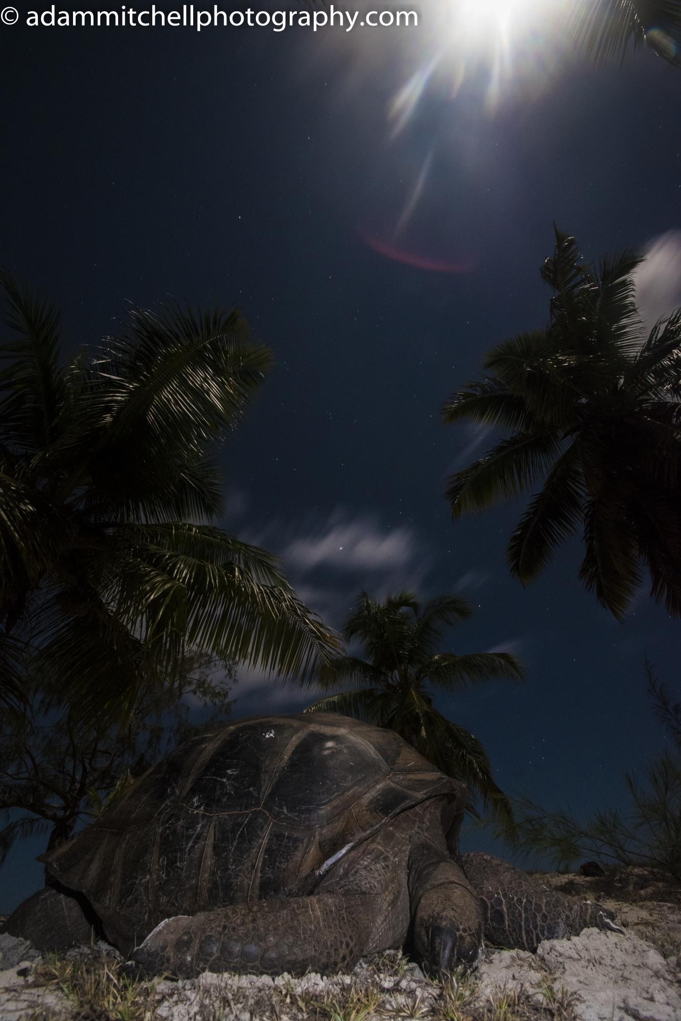 Sleeping tortoise,  Aldabra