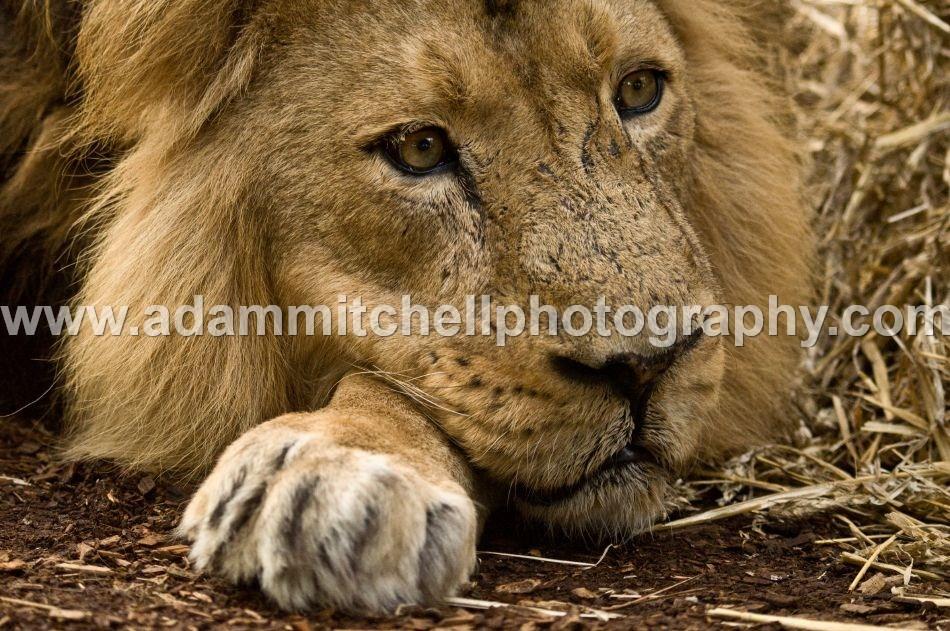 Lion, Bristol