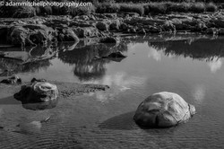 Aldabra tortoise shells
