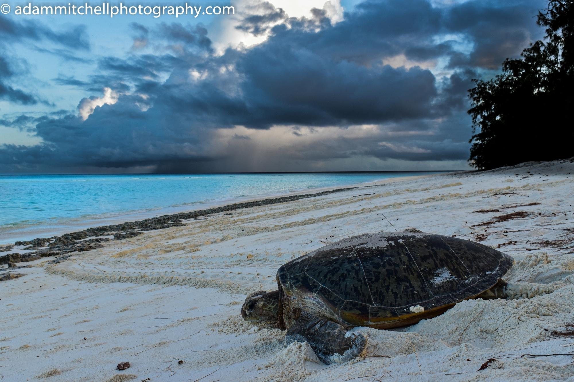 Nesting green turtle, Aldabra