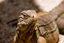 Lesser Caymans iguana, Cayman Brac