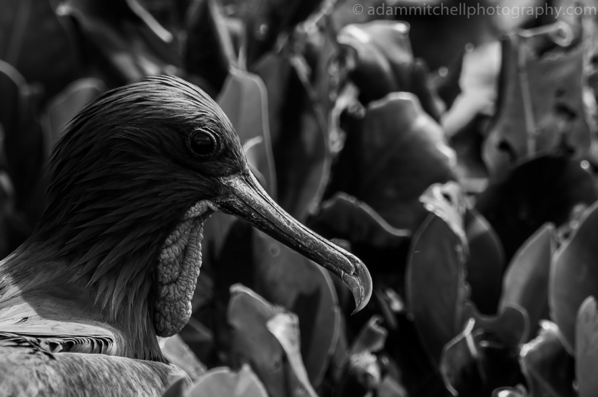 Frigate, Aldabra