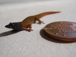Sphaerodactylus fantasticus, Dominic