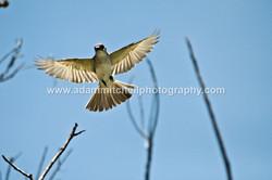 Flycatcher, Little Cayman