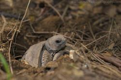 Aldabra tortoise hatching