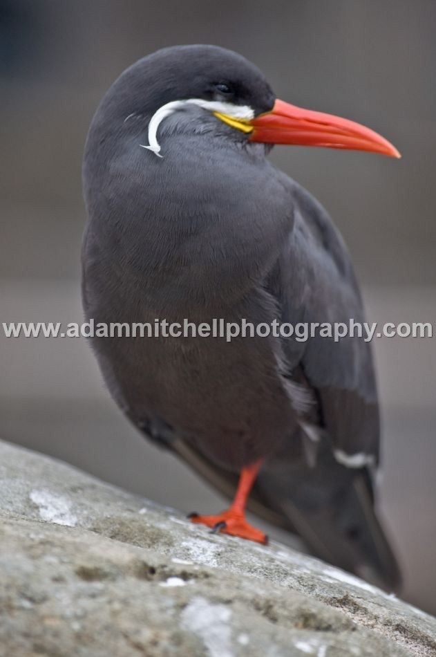 Inca tern, Bristol