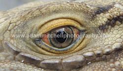 Lesser Caymans iguana, Little Cayman