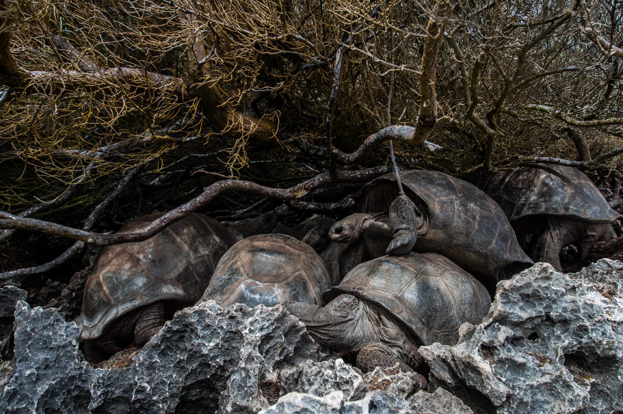 Aldabra tortoises