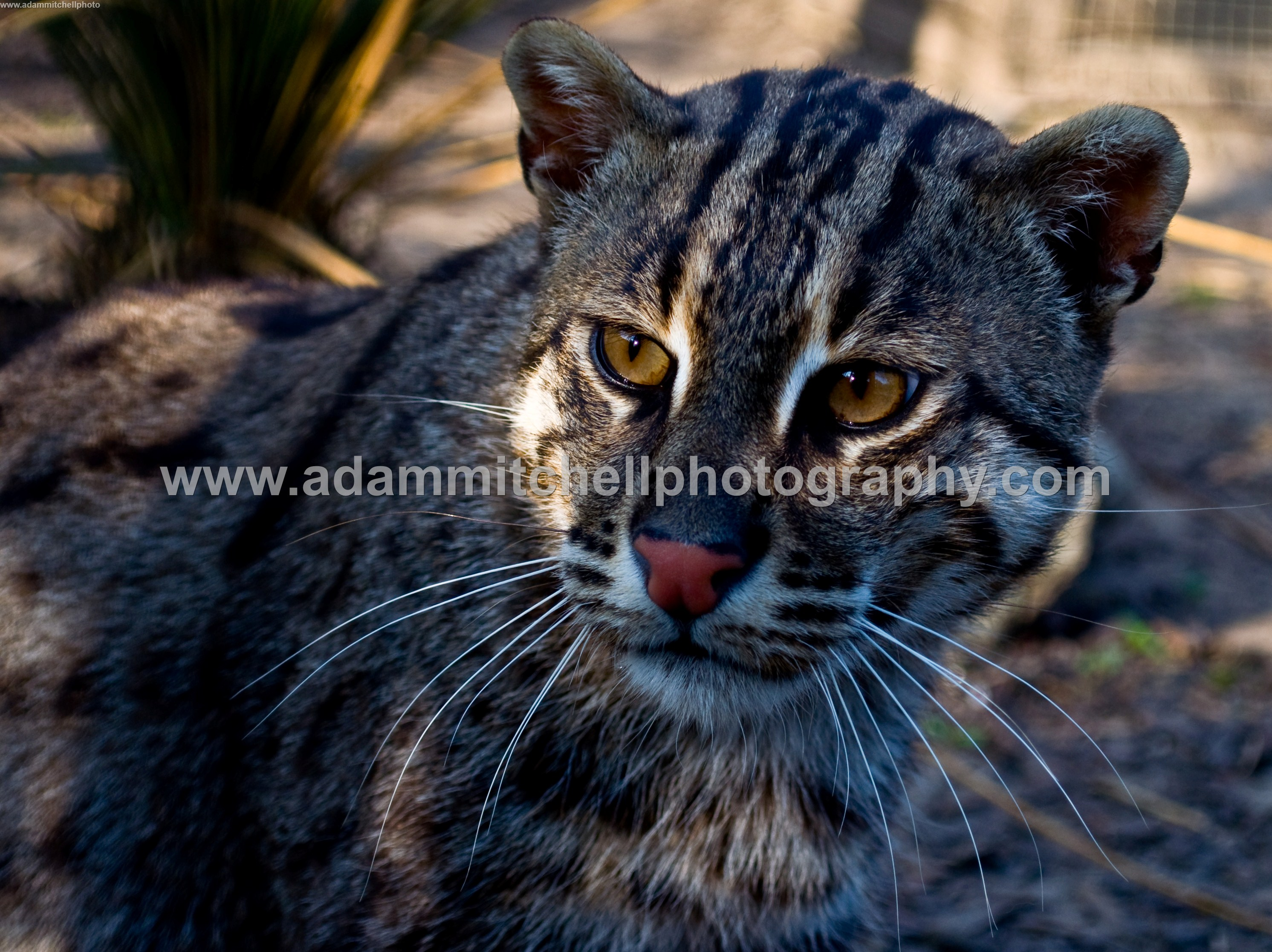 Fishing cat, Kent