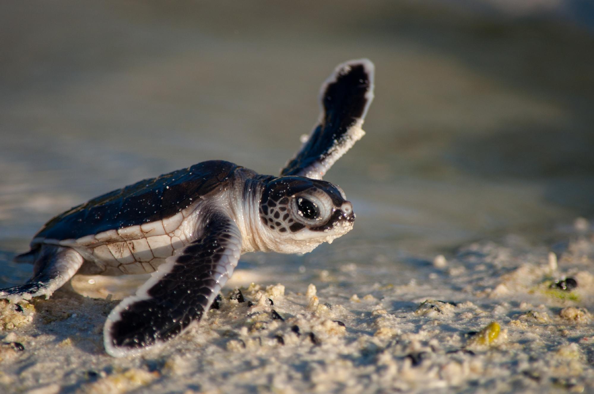 Green turtle hatchling, Aldabra