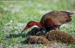 Aldabra flightless rail and chick