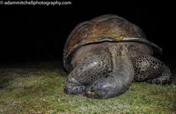 Sleeping Aldabra tortoise
